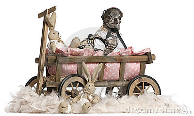Dressed up Chihuahua sitting in dog bed wagon