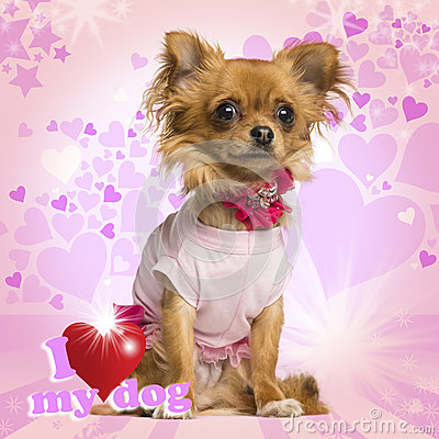 Free Dressed Up Chihuahua Sitting On Heart Background Stock Photo - 31506190