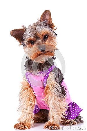 Dressed yorkshire puppy dog