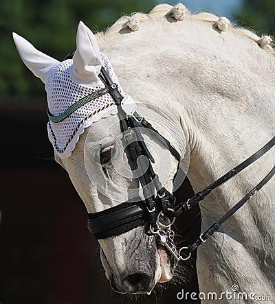 Dressuur: portret van grijs paard