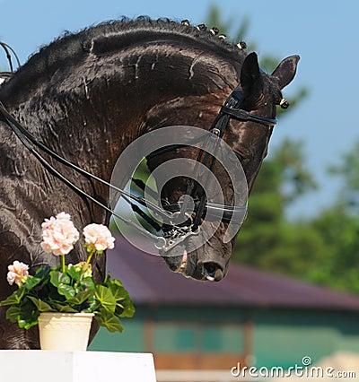 Dressuur: portret van zwart paard