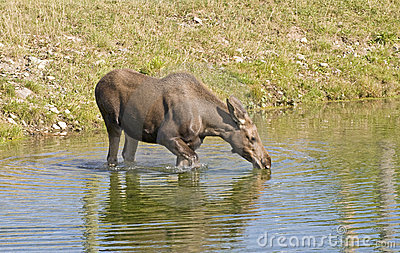 Dricka älgdamm för ko