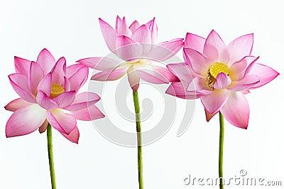 Drie roze waterleliebloem (lotusbloem)