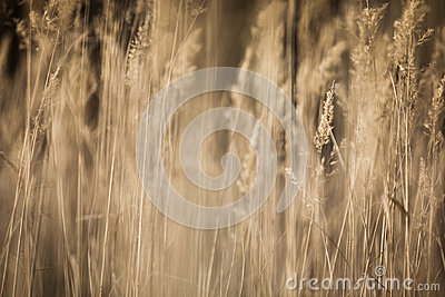 Dried Autumn Weeds Sepia
