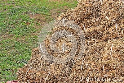 Dried bermuda grass