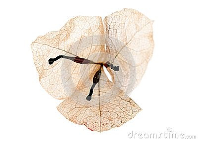 Dried bougainvillea flower