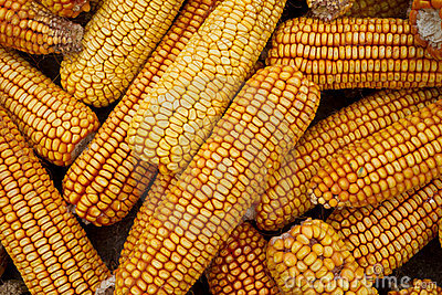 Dried corn background