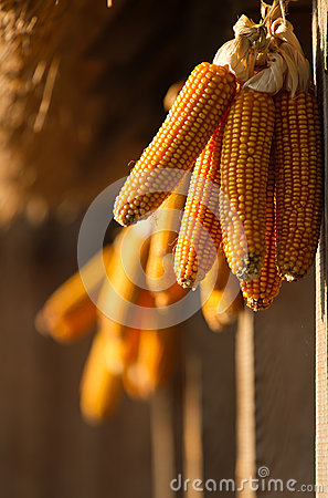 Dried corn hunging