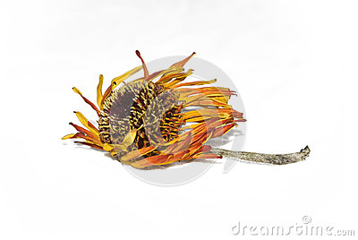 Dried daisy