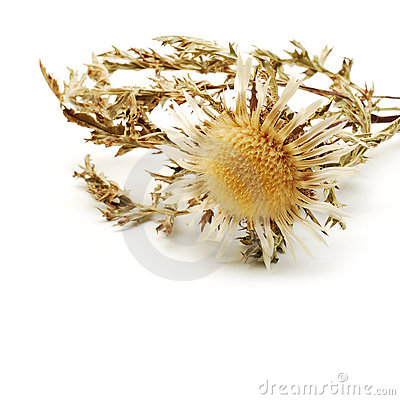 Free Dried Flower Stock Photo - 11740370