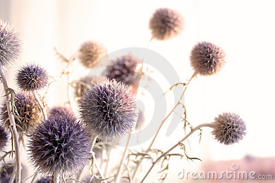 The dried flowers of a thistle