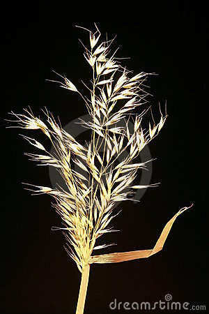Dried Grain Stalk