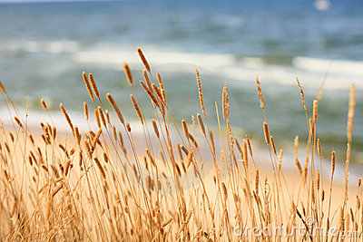 Dried grass at the seaside