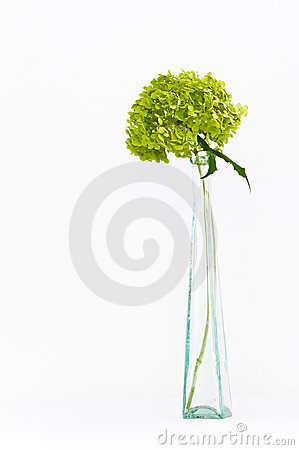 Dried green hortensia (hydrangea) flowers