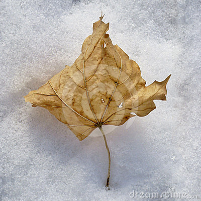 Dried leaf in snow