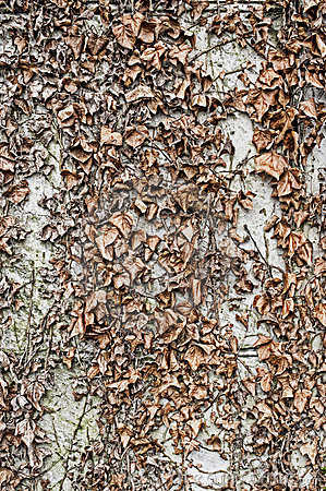 Dried leaves background wall texture