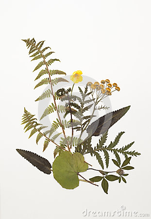 Free Dried Leaves Of Fern, Tansy, Buttercup, Clover, Sage, Foalfoot Stock Photos - 93178863