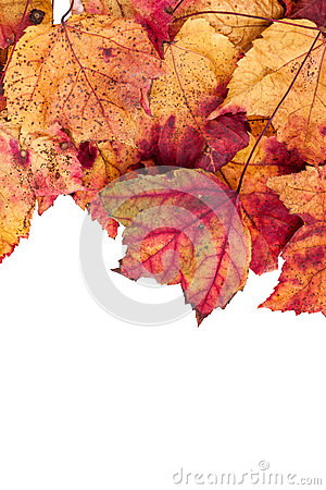Free Dried Maple Leaves Border Isolated On White Stock Photo - 34215440