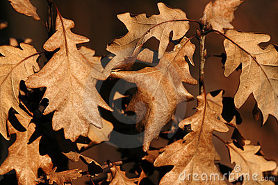 Dried oak leaves