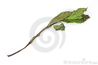 Dried organic mint