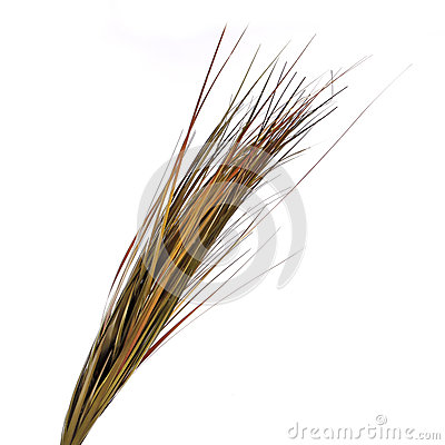 Dried ornamental grass clump isolated on white