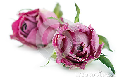 Dried pink roses on white background
