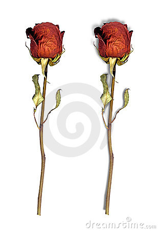 Dried red roses isolated on white