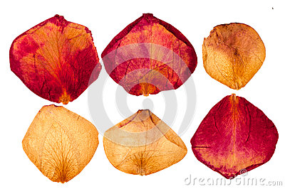 Dried red and white roses petals