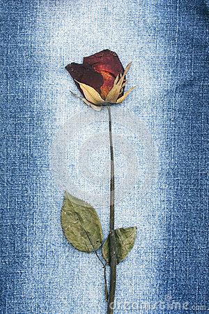 Dried rose on blue jean