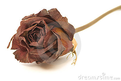 Dried Rose Close-up