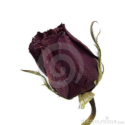Dried Single Red Rose Over White