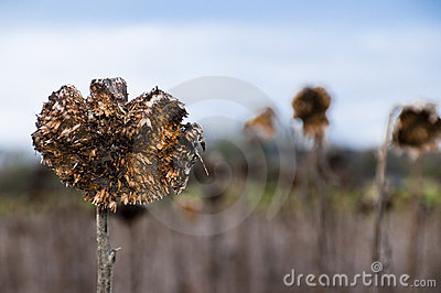 Dried sunflower field