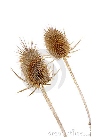 Free Dried Thistle Seed Pods Stock Image - 13309421