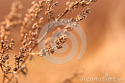 Dried weed in the sunlight
