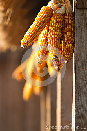 Dried yellow corn