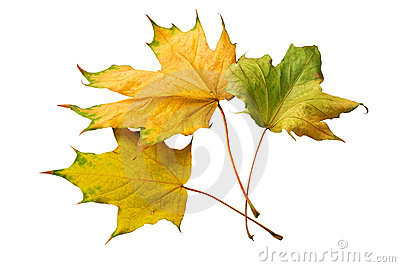 Dried yellow maple leaves
