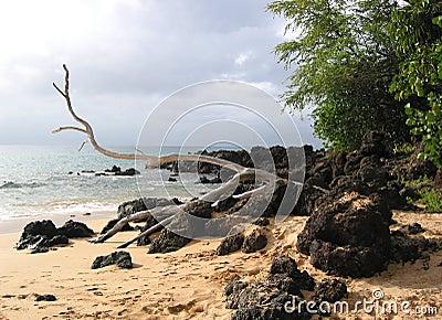 Drift Wood on Lava Rocks and Sand