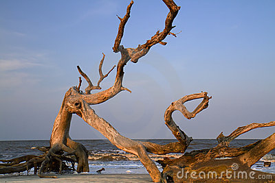 Drift wood at the ocean beach.