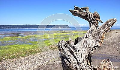 Driftwood on Beach with Seaweed