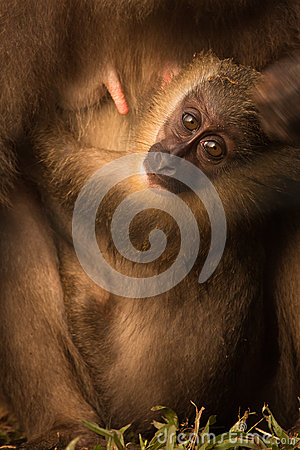 Endangered African Baby Monkey Eyes