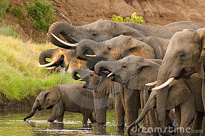 Drinking elephant herd