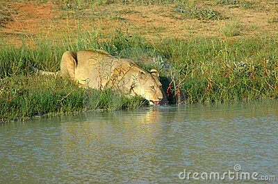 Drinking lioness