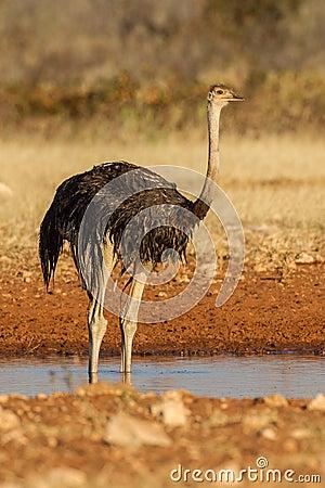 Drinking Ostrich