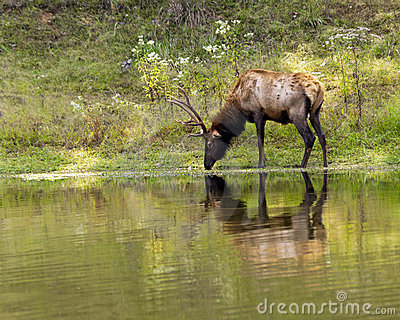 Drinking stag