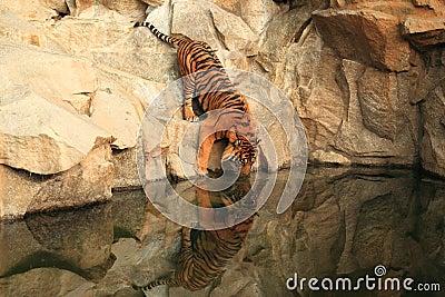 Drinking sumatran tiger