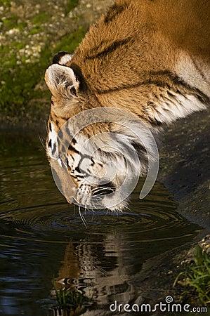 Drinking Tigress