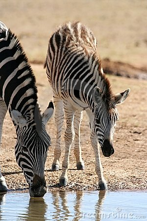 Free Drinking Zebra Mother And Baby Stock Photos - 5971803