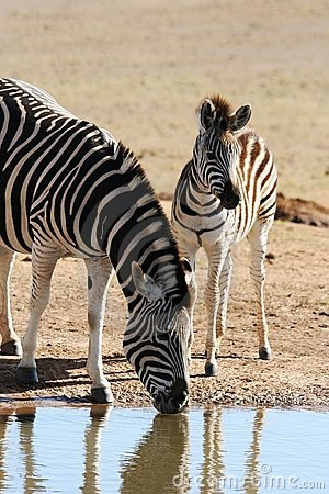 Drinking Zebra Mother and Baby