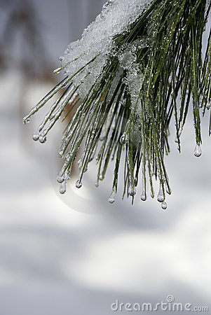 Dripping Ice on the Pine