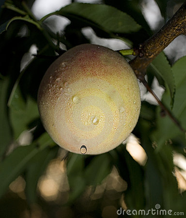 Dripping peach